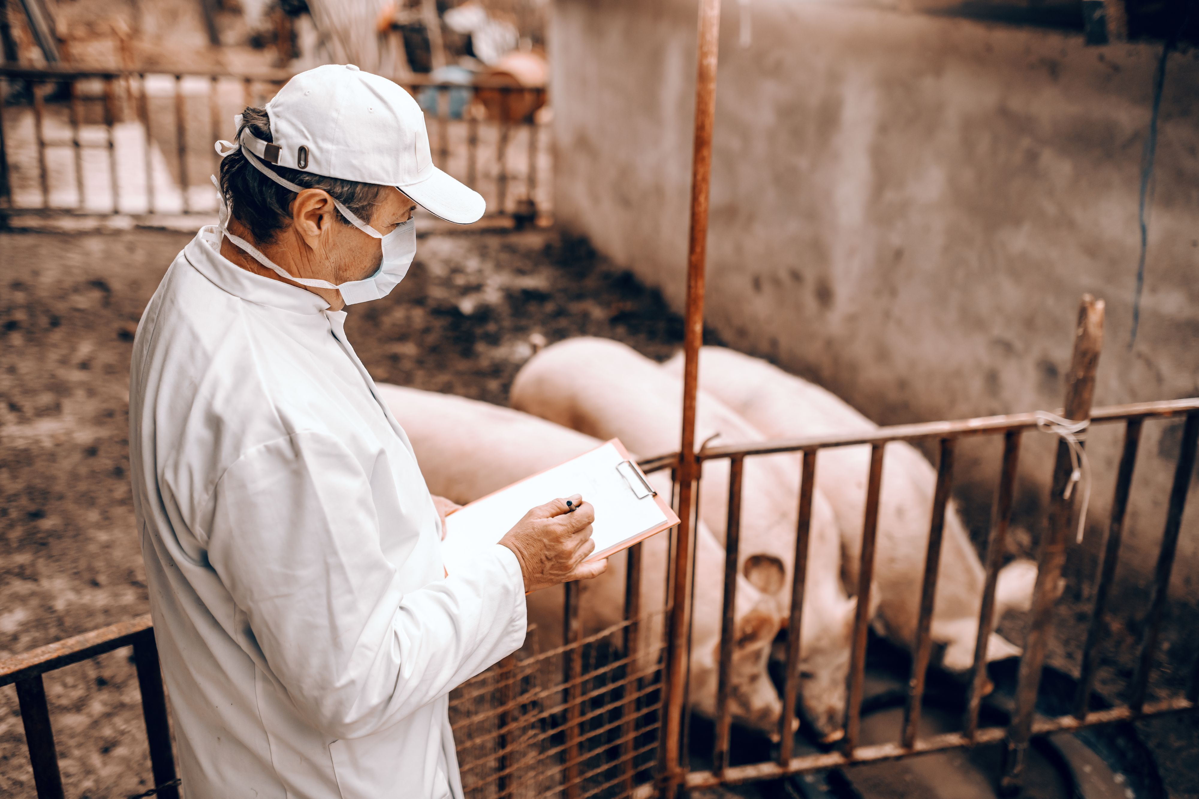 A veterinarian checks on pigs. Image byDusan Petkovic / Shutterstock. Undated.
