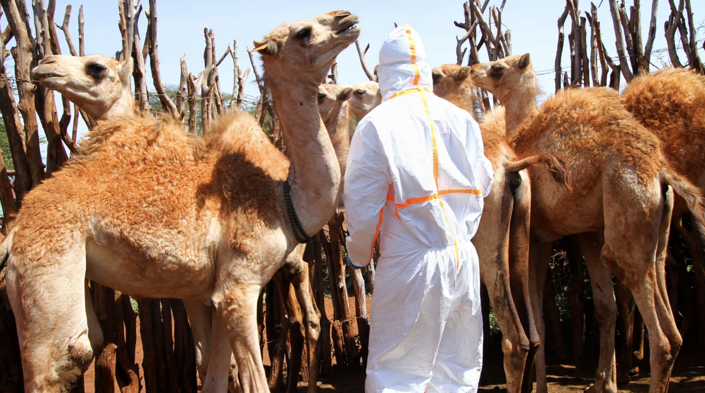 Approaching a camel to take a blood sample or swab requires a degree of caution Image byJacob Kushner. Kenya, undated.